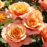 Саженцы роз в горшках с землей
