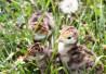 Домашняя птица Суточный молодняк разных пород Энем