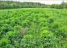 Семена серпухи на 10 соток - 20 000 шт Serratula coronata L