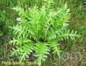Левзея-порошок 10кг листьевая тонкоизмельченная